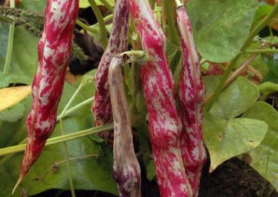 Culture de haricots borlotti vente directe agriculteur geneve versoix
