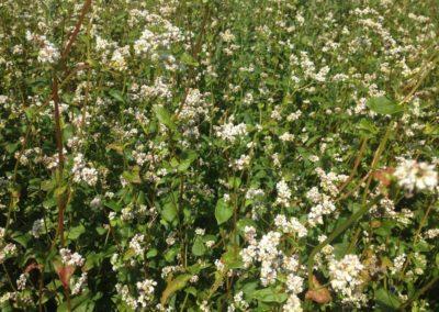 Culture de sarrasin vente directe agriculteur geneve versoix