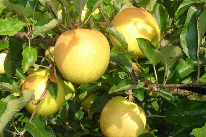 Pomme vente directe agriculteur geneve versoix